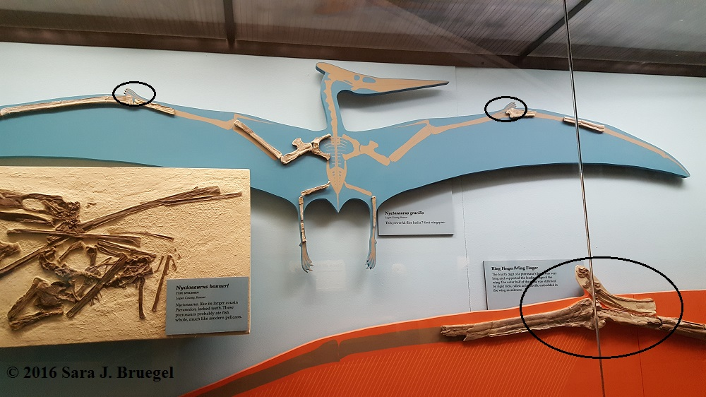 Notice the pteroid bones on the wings of each pterosaur (circled in the picture)