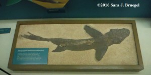 Fish Fossil from Kansas